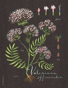 Erbe pianta di valeriana stampa 5x11 collezione di evajuliet