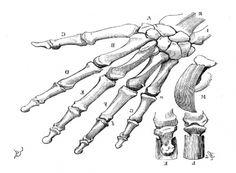 La Main de l'homme, squelette, E. Viollet-Le-Dux, Comment on devient un dessinateur, Paris, J. Hetzel, 1885.