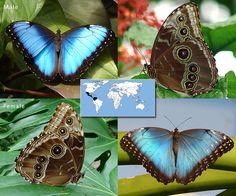 Blue Morpho | Morpho peleides  | Wingspan: 5.0 to 6.5 in Family: Nymphalidae | Subfamily: Satyrinae | Tribe: Morphini  Photos © Ryan G. Fessenden