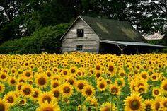 Resultado de imagem para sunflower fields gardens