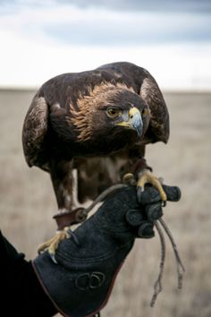 Lauren McGough became a falconer as a teenager. Now her compassionate training with Miles, a troubled Golden Eagle, has given him a new life. Falcon Hawk, Eagle Pictures, Tree Carving, Cardinal Birds, Golden Eagle, Wildlife Conservation, Birds Of Prey, Predator, Beautiful Birds