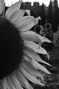 Un Fiore per te..... Pisa Foto di Katyb.