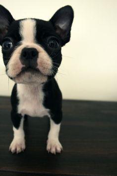 Bostons. <3 #bostonterrier #puppy