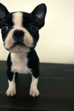 Boston puppy