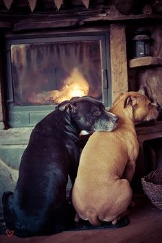 Dogs by the fire - Love Pit Bulls