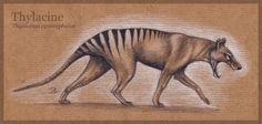 The Thylacine, A.K.A. the Tasmanian Tiger, was the largest known carnivorous marsupial of modern times. This marvelous creature unfortunately went extinct in the early 20th century.