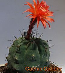 matucana madisoniorum Cactus Gallery