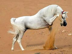 #Arabians.. I think they are beautiful.. Dad called them airheads lol,.....