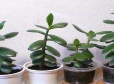 Container Gardening, Gardening Tips, Crassula Ovata, Pepper Plants, Home Flowers, Jade Plants, Garden Journal, Edible Garden, Herb Garden