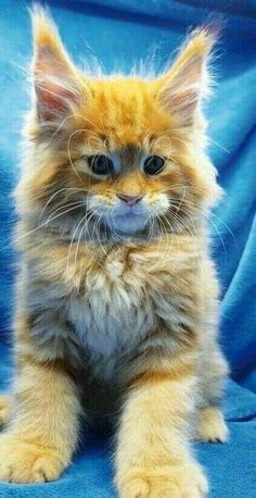 (TIPS) How to adopt a Maine Coon Kitten safely, and make sure you have a Maine Coon Cat a caring home! (TIPS) How to adopt a Maine Coon Kitten safely, and make sure you have a Maine Coon Cat a caring home! Cute Cats And Kittens, Cool Cats, Kittens Cutest, Black Kittens, Orange Tabby Cats, White Cats, Pretty Cats, Beautiful Cats, Animals Beautiful