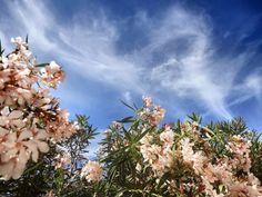Oleander in blossom (Nerium oleander) growing in seaside gardens or in pots in the areas of ontinental Croatia