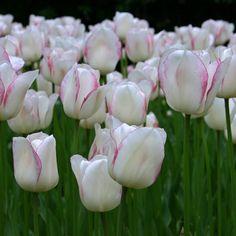 'Blushing Girl' ist eine besonders langstielige und elegante Tulpe, die erst im späteren Frühjahr blüht. Pflanzzeit ist im Herbst. Online bestellbar bei www.fluwel.de