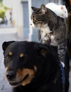 Rat on a cat on a dog, come on people even they can love each other. Saw them in LBC a few years back, priceless