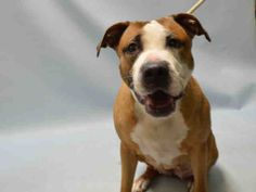 Brooklyn Center LOLA – A1063089 FEMALE, TAN / WHITE, AM PIT BULL TER MIX, 7 yrs STRAY – STRAY WAIT, NO HOLD Reason STRAY Intake condition EXAM REQ Intake Date 01/16/2016