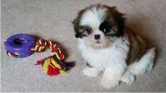 Parti shih-tzu puppy from Glory Ridge Shih-Tzu.