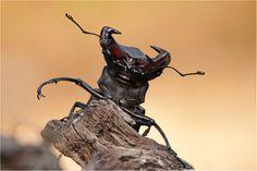 Biosphärenreservat Mittlere Elbe Feuerschröter geweih Hirschkäfer Hornschröter Insekt des Jahres 2012 Lucanus cervus Mandibeln Männchen