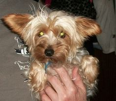 Ceejay is an adoptable Yorkshire Terrier Yorkie Dog in Sulphur, OK. Ceejay is a stunning little 3 year old female Yorkie.  She is silver and tan and weighs 7 pounds.  Ceejay belonged to a backyard bre...