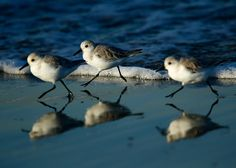 """dendroica: """" Birds run along the beach to stay out of the surf as they search for food in Cardiff, Calif. on November 6, 2012. (Mike Blake/Reuters) (via Shoreline - The Big Picture - Boston.com) """" ♡ ✦࿐ ❀"""