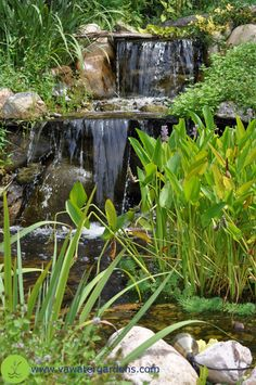 We provide professional koi pond maintenance and service for Koi pool water gardens thornton