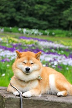 Shibesbot Dog Breed
