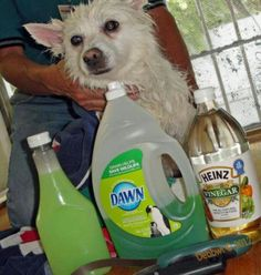 Fleas be gone! 1 cup Dawn 1 cup vinegar 1 quart warm water. Lather, starting with head, face, bum and genitals. Cover entire body, between the toes too, and let sit for 15 min. Rinse thoroughly