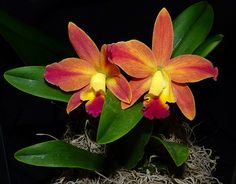photographed at the 2014 pacific orchid exposition, Brassolaeliocattleya Sakurahime x Sophrolaeliocattleya Tiny Tiutan hybrid orchid | Flickr - Photo Sharing!