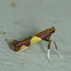This moth is obviously a diehard Redskins fan. GET WITH THE TIMES, little Caloptilia, your team has a horrible name and they got bumped out of the playoffs last week! *rolls eyes*