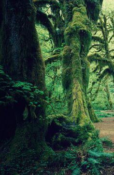 moss covered trees / Olympic National Park, Washington