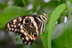 Swallowtail Butterfly or Large Citrus Butterfly (Papilio aegeus).