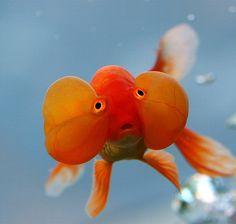 Bubble-eyed Goldfish by Chi Liu, via Flickr