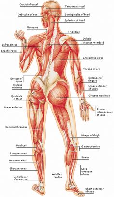 Muscle Man Diagram | Anatomy Of Body Anatomy Of Male Muscular System Posterior View
