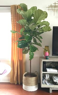 The Por Elusive Fiddle Leaf Fig Tree