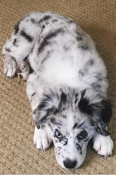 Find Out More On The Smart Australian Shepherd Pup. Aussie Puppies, Cute Puppies, Cute Dogs, Dogs And Puppies, Collie Puppies, Teacup Puppies, Cute Baby Animals, Animals And Pets, Funny Animals