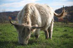 Scottish Highland Cow! Yes, I want one!