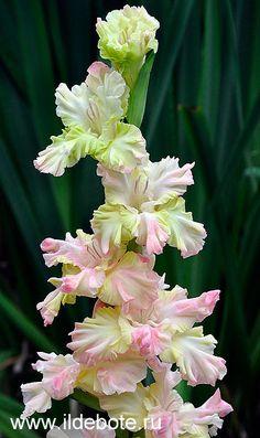 Gladiolus 'Magician'