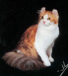 "GC BW RW Procurlharem DIMONDSRACURLSBESFREND ""DEEDEE"" Brown Patched Tabby and White Deceased October 7, 2010 Our Memoriam Page"
