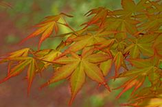 The beautiful spring yellow-orange leaves of the Katsura Japanese maple