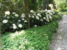 Bodembedekker en hortensia