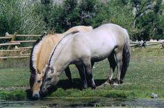 Beautiful Fjord horses