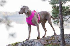 Rukka Big Comfort valjaat isommalle koiralle. Materiaali on kevyttä ja vettymätöntä neopreenia. / Rukka Big Comfort harness for bigger dog. Soft and well-fitting harness is made of flexible neoprene.