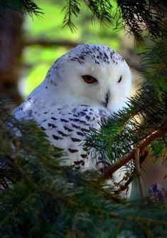 Snow owl - Baby Animals Adorable Best of 2019 Owl Photos, Owl Pictures, Beautiful Owl, Animals Beautiful, Baby Animals, Cute Animals, Owl Bird, Mundo Animal, Tier Fotos