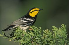 Endangered species - Golden-cheeked Warbler (=wood) perched on an evergreen branch. - 2008 - Photographer Steve Maslowski - U.S. Fish and Wildlife Service
