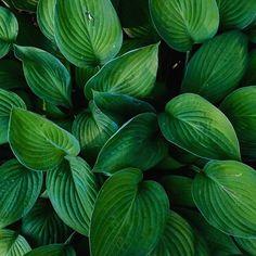 Green | Backgrounds  •  •  •  #green #leafs #garden #lovegreen #vegan #vegan #pure #minimal #pattern #simplebeauty #photoofflower