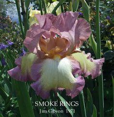 Tall Bearded iris 'SMOKE RINGS' ~ HERITAGE IRISES