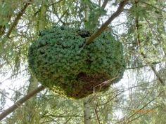 Het lijkt op een groen gezwel in een boom of een groot nest van ...? Het is een heksenbezem in een Douglasspar. Te vinden in het bos achter de Boslaan in Zuidwolde.