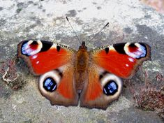 Peacock butterfly out of hibernation 09/04/2014