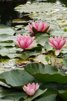 Water lilies at Claude Monet's garden in Giverny, France