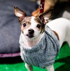Whisper is an adoptable Chihuahua searching for a forever family near New York, NY. Use Petfinder to find adoptable pets in your area.