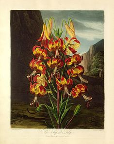 Thornton Superb Lily Antique Botanical Print Wall Art . . . giclee reproduction print on fine paper that will not fade. Available in different sizes, unframed or framed in matte black wood frame. Custom sizes available. Made in USA by Museum Outlets Botanical Prints, John Thornton, Linnaeus, Flora, Lily, Fine Paper, Black Wood, Public Domain, Painting