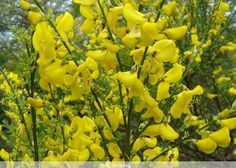 Mesane Hastalıklarında Katırtırnağı İmdada Yetişiyor  Baklagiller ailesinden Katırtırnağı(Spartium junceum ) Akdeniz'e özgü bir çalı türüdür. Ayne zamanda Kuzeybatı Afrika ve Güneybatı Asya'da görülür. Her zaman yeşil olan odunsu bir bitki cinsidir.   Yazının Devamı: Mesane Hastalıklarında Katırtırnağı İmdada Yetişiyor | Bitkiblog.com Follow us: @BİTKİ BLOG on Twitter | Bitkiblog on Facebook